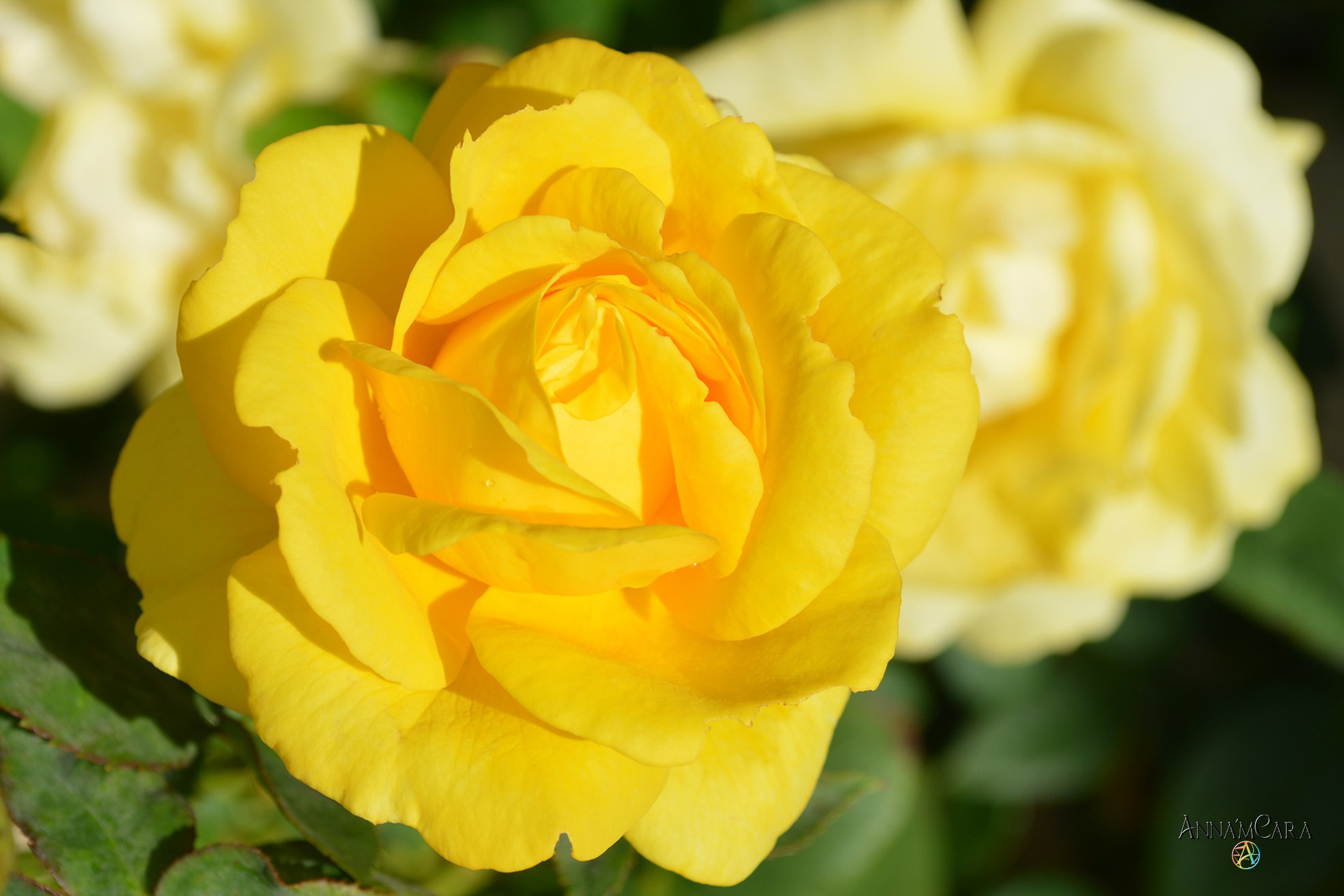 Tag der gelben Rosen